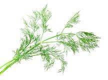Branch of green dill Stock Images
