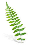 Branch of Green Fern Leaf Stock Photos