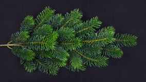 Branch of green fir on a black background stock photography