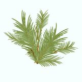 Branch of green fir tree sunlit Royalty Free Stock Photo