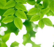 Branch with green fresh leaves in the forest. A branch with green fresh leaves in the forest Stock Image