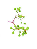 Branch with green fruit Stock Images