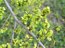 Branch with green fruits of an elm low Ulmus pumila L. Stock Photo