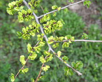 Branch with green fruits of an elm low Ulmus pumila L. against Royalty Free Stock Photo