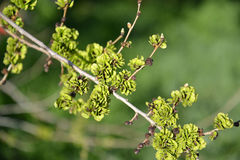 Branch with green fruits of an elm stocky Ulmus pumila L. Royalty Free Stock Photos