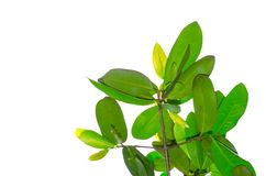 A branch of green Garcinia schomburgkiana pierre leaves isolated on white background. royalty free stock images