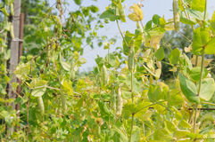 Branch of a green garden peas with pods and leaves on a field closeup Royalty Free Stock Photo