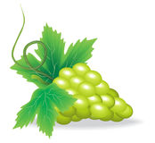 Branch of green grape Stock Photos
