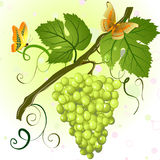 Branch of green grapes Royalty Free Stock Photo