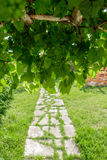 Branch of green grapes on vine in vineyard. Royalty Free Stock Images