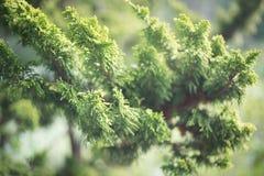 A branch green of green cedar. Close-up Stock Image
