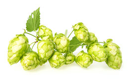 Branch with green hop cones Royalty Free Stock Image