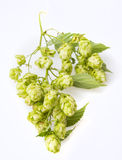 Branch with green hop cones Royalty Free Stock Images