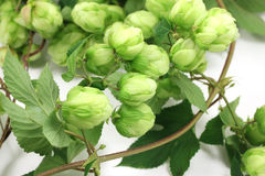 Branch of green hop cones Stock Image