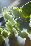 Branch of green hop royalty free stock image