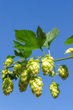 Branch of green hops Stock Photo