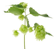Branch of green hops isolated on the white background Stock Photography