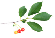 Branch with green leaf and cherrys Royalty Free Stock Photography