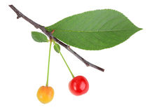 Branch with green leaf and cherrys Stock Image