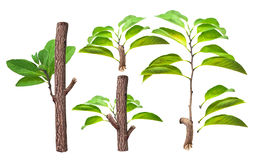 Branch and green leaf Royalty Free Stock Photos