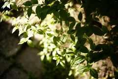 Branch bush green leaf close-up sunlight garden. Branch green leaf sunlight garden shadow village Royalty Free Stock Images