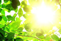Branch green leafes in sunny day. Branch green leafes on branch in sunny day Stock Photography