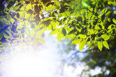 Branch green leafes in sunny day Stock Images