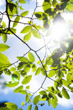 Branch green leafes in sunny day Stock Photo