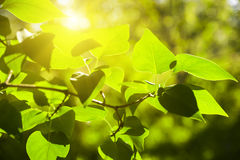 Branch green leafes in sunny day Royalty Free Stock Image