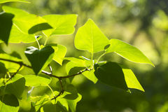 Branch green leafes in sunny day Royalty Free Stock Images