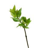 Branch with green leafs isolated on white Royalty Free Stock Photo