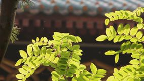 Branch with the green leafs in the late afternoon sun with the temple of Confucius wall stock video