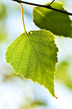 Branch with green leaves. Birch tree branch with green leaves closeup Stock Photo
