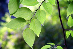 Branch of green leaves Stock Photo