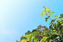 Branch with green leaves. On sky background Stock Photo