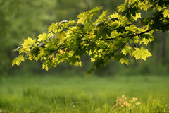 A branch with green leaves. In a sunny day Stock Image