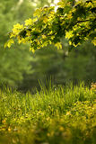 A branch with green leaves. In a sunny day Stock Photography