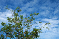 Branch of green leaves. Branch of beautiful green leaves against clear blue sky background Royalty Free Stock Photos