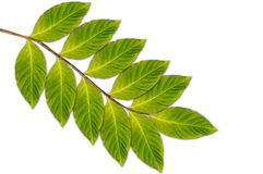 Branch with green leaves Royalty Free Stock Image