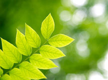 Branch with green leaves. In the forest Royalty Free Stock Images