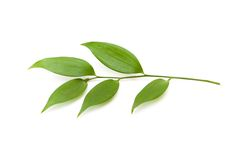 Branch with green leaves. Isolated on the white Royalty Free Stock Photos