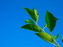 Branch with green leaves. Against a backdrop of blue sky Stock Image