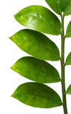Branch with green leaves. Isolated on white Stock Photography