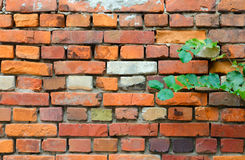 Branch with green leaves on background of wall of red brick. Branch with green leaves on background of old wall of red brick Stock Images