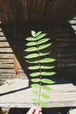 Branch with green leaves on the background of a wooden house.  Royalty Free Stock Images