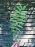 Branch with green leaves on the background of a wooden house Stock Image