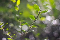 Branch with green leaves. Beautiful green branch with fresh spring leaves Royalty Free Stock Photography
