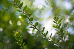Branch with green leaves. Beautiful green branch with fresh spring leaves Royalty Free Stock Photo