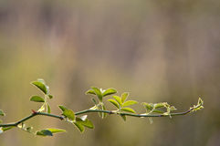 Branch with green leaves. On blur background Stock Photography