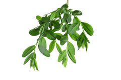 Branch with green leaves. On white background Stock Photo